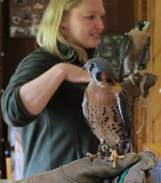 American Kestrel and Peregrine Falcon with handlers