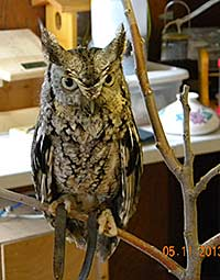 Eastern Screech-Owl sitting on perch
