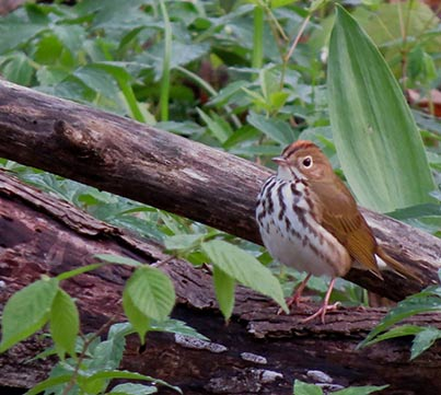 Ovenbird seen during IMBD bird walk